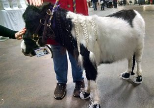 Duncan Therapy mini horse 2015.jpg