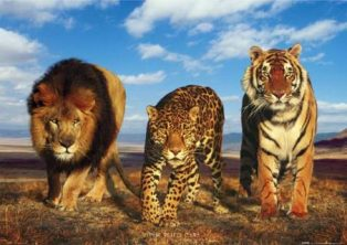 lion-leopard-tiger-wild-big-cats-poster.jpg