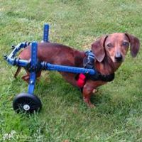 Mini Dachshund Walkin Wheels.jpg