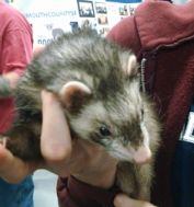 Rescued_Ferret_at_2015_Super_Pet_Expo.jpg